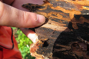 Pine Beetle Eradication Plan Will Restore Devastated LI Parks